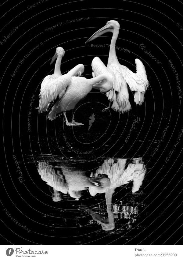 Pelikane Tier Vogel Flügel Zoo 3 Tiergruppe stehen authentisch außergewöhnlich schön natürlich Zufriedenheit Spiegelung Feder Reinigen Spielkarte