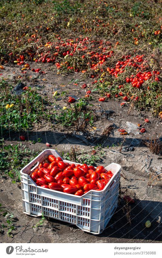 Tomaten manuell in Kisten pflücken. Tomatenfarm. Pflanze Wachstum frisch natürlich rot Ackerbau Kommissionierung industriell kultivieren Biotechnologie