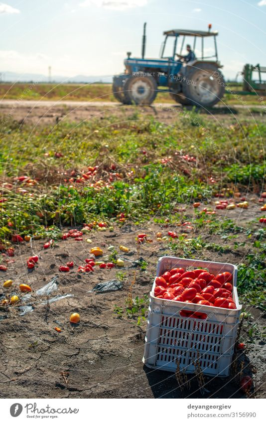 Tomaten manuell in Kisten pflücken. Tomatenfarm. Pflanze Traktor Wachstum frisch natürlich rot Ackerbau Kommissionierung industriell kultivieren Biotechnologie