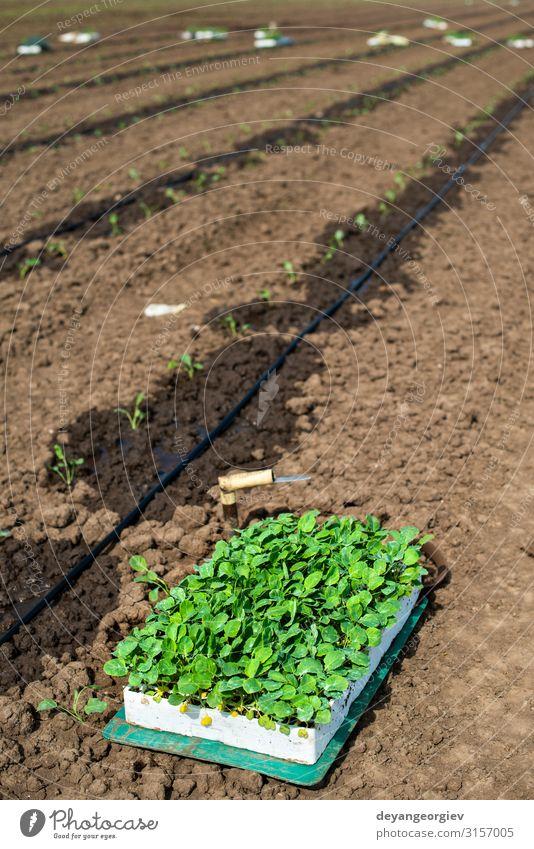 Sämlinge in Kisten auf dem Ackerland. Brokkoli pflanzen Gemüse Garten Gartenarbeit Industrie Umwelt Natur Pflanze Erde Blatt Wachstum frisch grün Bauernhof groß
