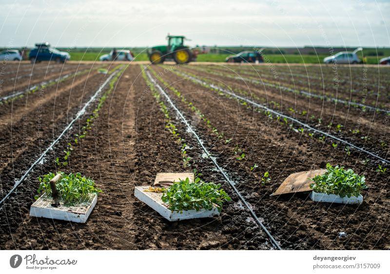 Sämlinge in Kisten auf dem Ackerland. Brokkoli pflanzen Gemüse Garten Gartenarbeit Industrie Umwelt Natur Pflanze Erde Blatt Traktor Wachstum frisch grün