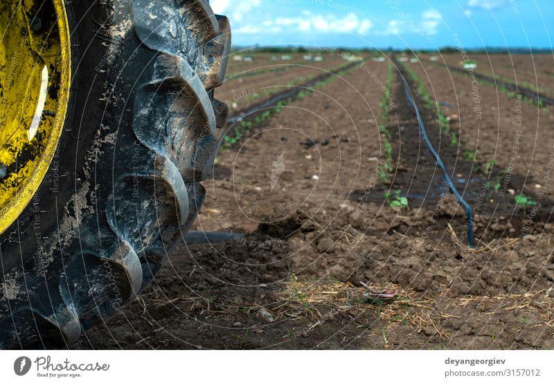 Traktorreifen-Setzlinge in Reihen auf dem Ackerland. Gemüse Garten Gartenarbeit Industrie Umwelt Natur Pflanze Erde Blatt Wachstum frisch grün Sämlinge Reifen