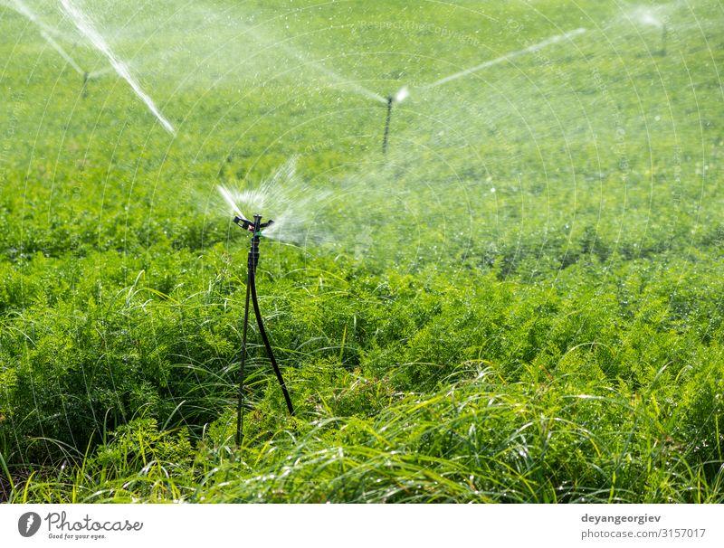 Bewässerung der Plantage mit Karotten. Beregnungssprinkler Gemüse Garten Gartenarbeit Technik & Technologie Umwelt Natur Pflanze Erde Blatt Tube Linie Wachstum