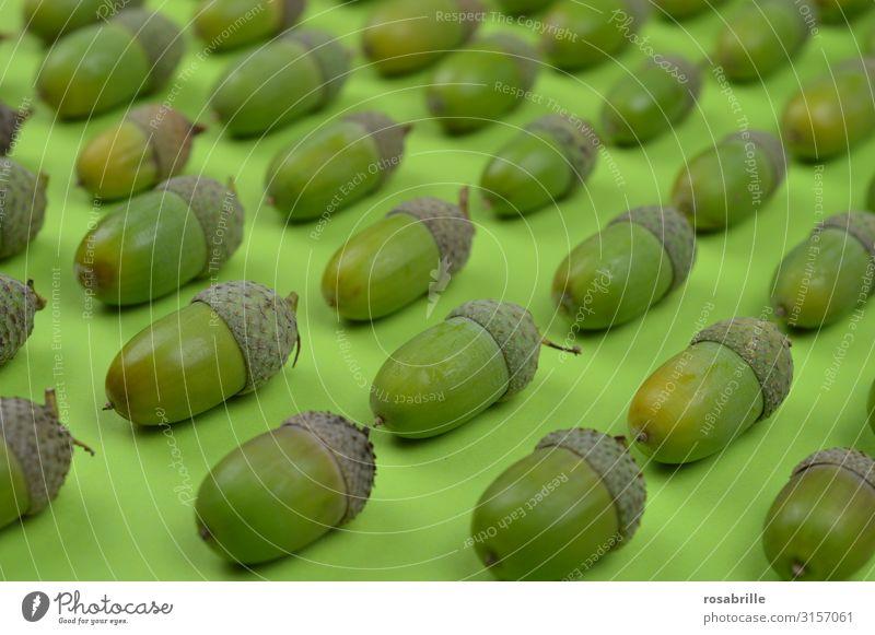 ordnungsliebende Eicheln Frucht Sommer Umwelt Natur Pflanze Herbst Hut glänzend liegen Wachstum Zusammensein natürlich rund viele grün Verlässlichkeit