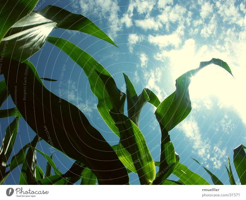 Maisfeld grün Wolken Ernte Himmel