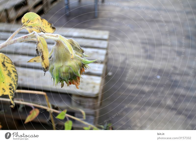 Sommerende Natur Einsamkeit Holz Herbst Stimmung Klima Schmerz Müdigkeit Erschöpfung Sonnenblume