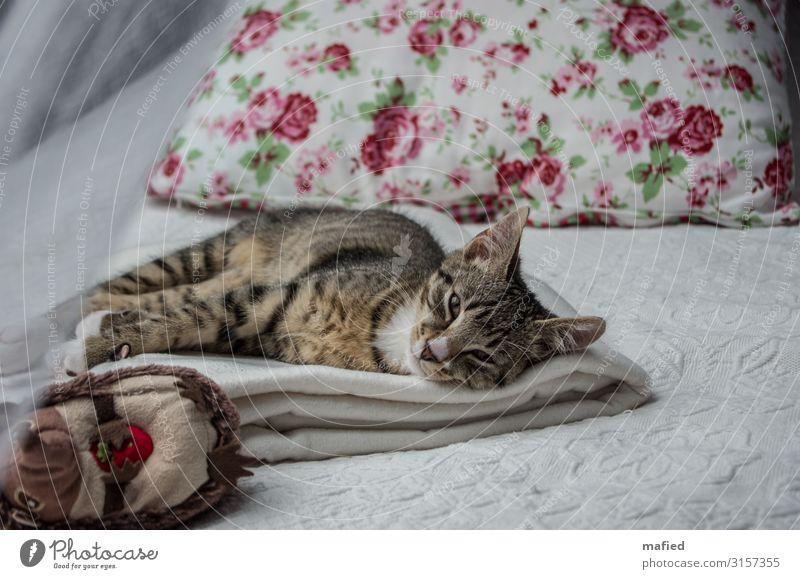 Der kleine Prinz Tier Haustier Katze 1 Tierjunges Erholung genießen liegen Freundlichkeit kuschlig niedlich braun grau rosa rot Zufriedenheit Vertrauen
