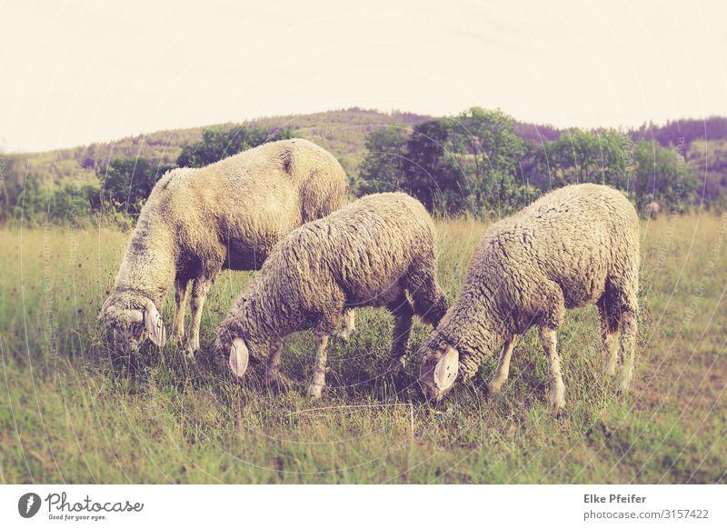 Schafe Natur Landschaft Tier Feld Nutztier 3 Essen frei Fröhlichkeit schön Stimmung Verzweiflung Farbfoto Außenaufnahme Menschenleer Tag
