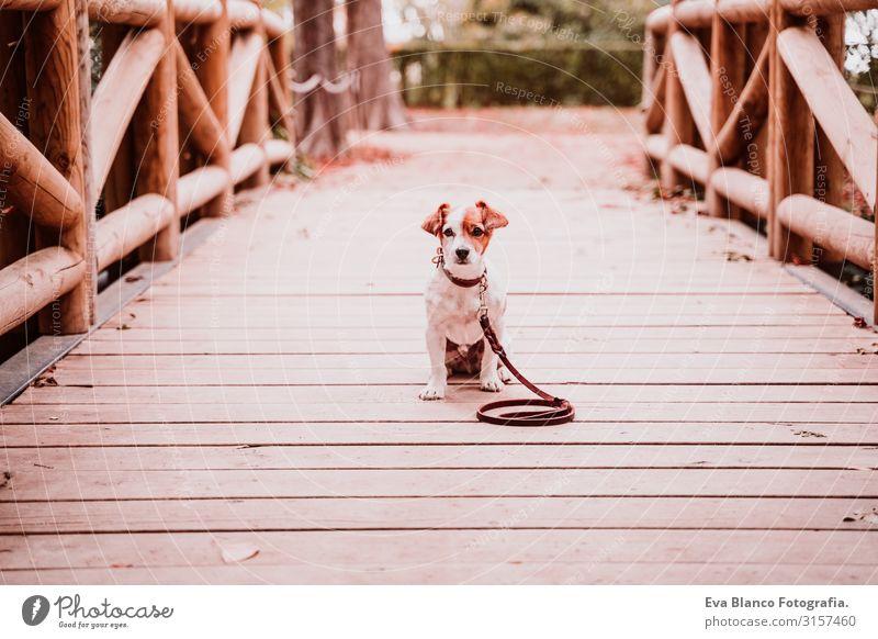 süßer Jack-Russell-Hund in einem Park, der auf einer Holzbrücke sitzt und in die Kamera schaut Jack-Russell-Terrier Haustier Außenaufnahme sitzen Fenster