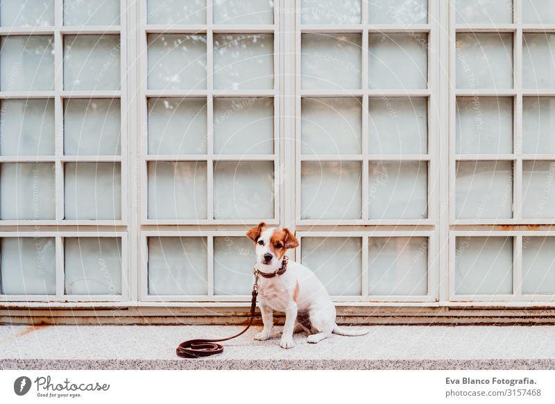 süßer Jack-Russell-Hund, der im Freien sitzt. Fenster-Hintergrund Jack-Russell-Terrier Haustier Außenaufnahme sitzen heimwärts niedlich klein reizvoll Blick