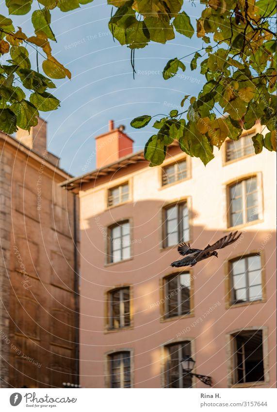 Kommt eine Taube Städtereise Wolkenloser Himmel Herbst Blatt Lyon Altstadt Haus Mauer Wand Wildtier Vogel 1 Tier fliegen hell Farbfoto Außenaufnahme