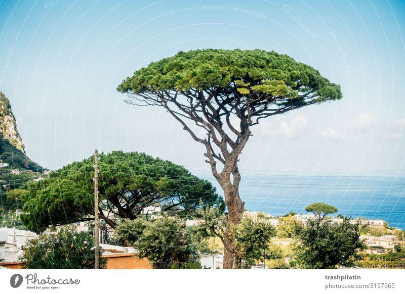 Capri Pinie Landschaft Pflanze Baum Meer Italien Europa Ferien & Urlaub & Reisen Baumkrone Farbfoto Tag