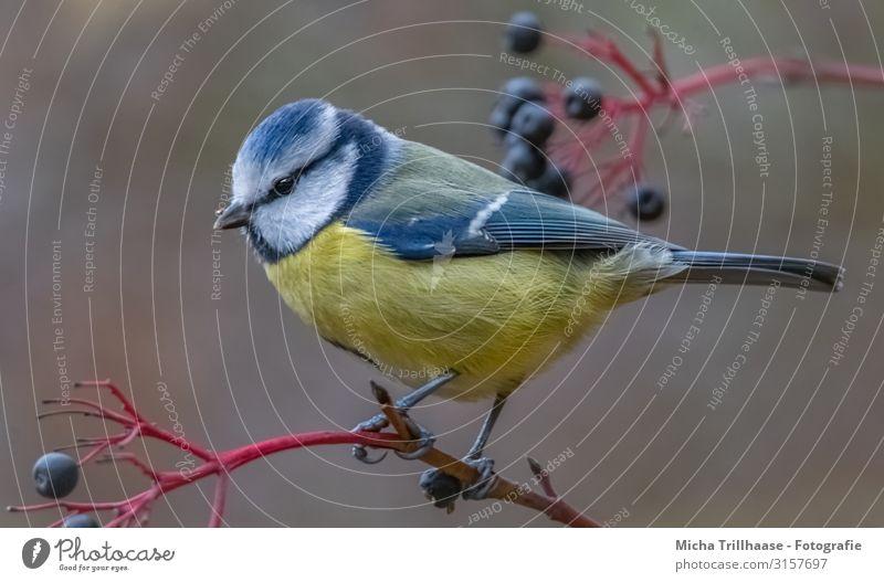 Blaumeise im Holunderstrauch Natur Tier Sonnenlicht Schönes Wetter Pflanze Sträucher Holunderbusch Holunderbeeren Wildtier Vogel Tiergesicht Flügel Krallen