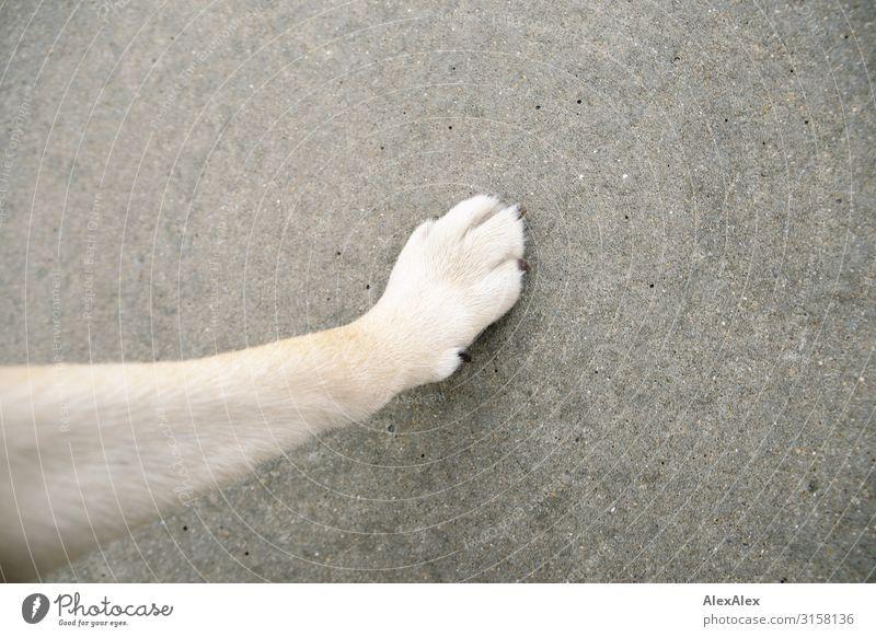 HH UT 19   Hundepfote eines blonden Hundes auf Betonboden Tier Haustier Pfote Betonplatte Bodenbelag aufsetzen drücken entstehen grau körnig Mittelpunkt