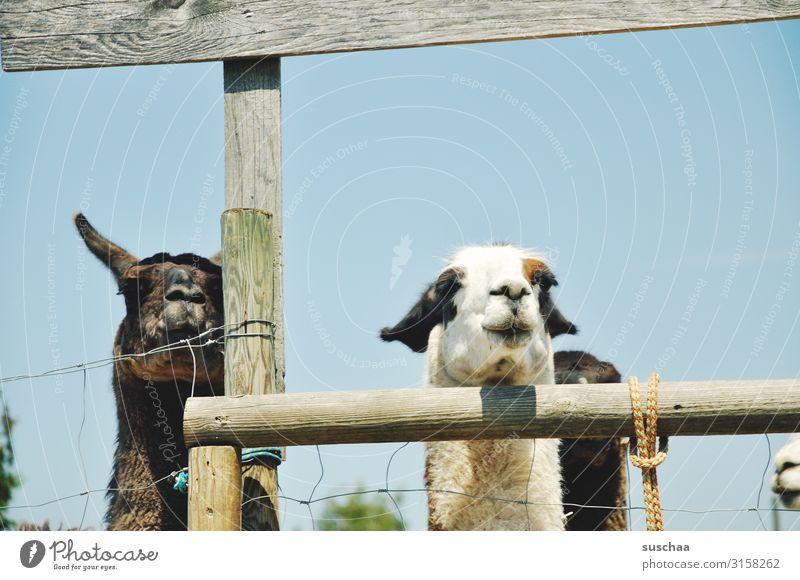 zwei und mehr lamas Lama Tier Haustier Nutztier Kamel spucken Paarhufer Herde tiergestützte Therapie Bauernhof Hof Weide Gehege Zaun Lattenzaun Fell Natur Blick