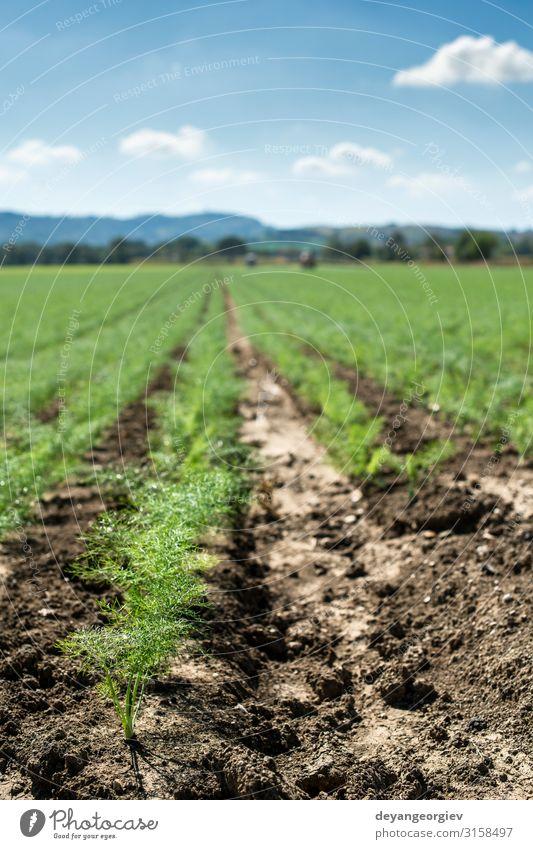 Fenchel-Jungpflanzen in Reihen. Landwirtschaftliches Land Garten Landschaft Pflanze Wachstum klein jung Sämlinge finocchio kultiviert landwirtschaftlich