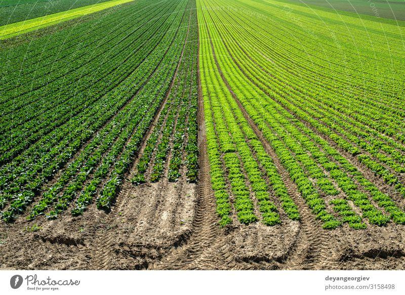 Große Salatplantage in Reihen im Freien. Gemüse Sommer Umwelt Natur Landschaft Pflanze Blatt Wachstum frisch grün Hintergrund Panorama Feld Bauernhof Ackerbau