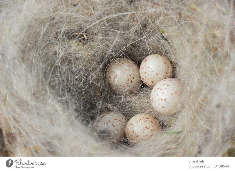 Meiseneier in Nest Tier Wildtier Vogel füttern Glück Angst Ei Gelege Nistkasten Körperpflege Küken Farbfoto Außenaufnahme Nahaufnahme Detailaufnahme Tag