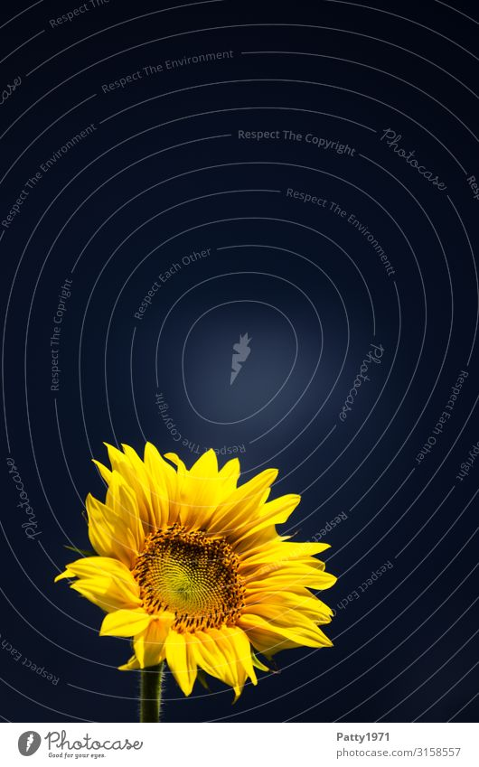 Sonnenblume vor dunklem Hintergrund Natur Tier Pflanze Blume Blüte Blühend frisch schön blau gelb Hoffnung Optimismus Farbfoto Außenaufnahme Nahaufnahme
