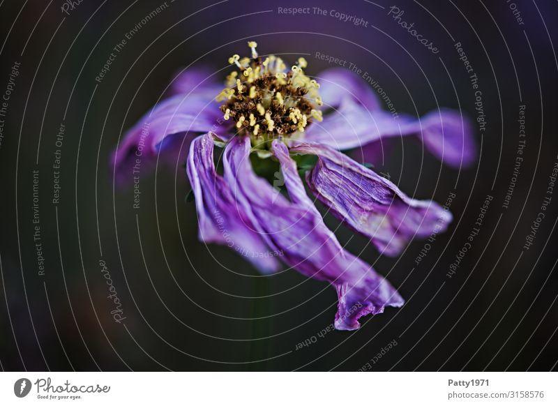 Verblüht Natur Pflanze Blume Blüte dunkel trocken wild violett Verfall Vergänglichkeit welk verblüht Farbfoto Nahaufnahme Makroaufnahme Menschenleer