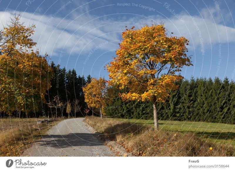 Goldener Oktober | gefärbte Bäume im Sonnenlicht entlang eines Weges Herbst goldener Oktober Laubbäume Ahorn Herbstlaub herbstlich Herbstfärbung Wald Nadelwald