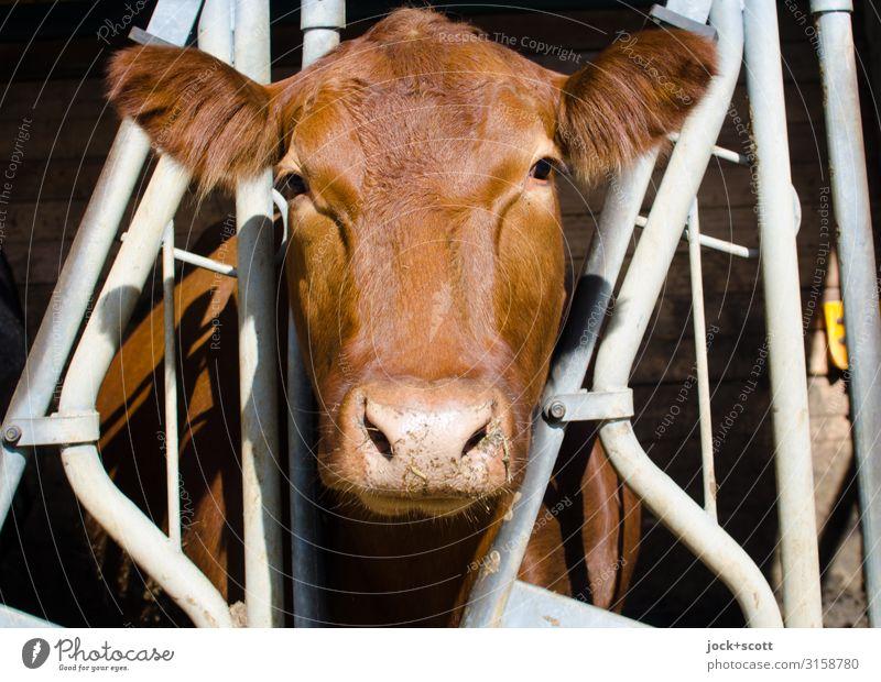 Kuh ohne Muh Tier braun authentisch beobachten schlechtes Wetter Nutztier Franken