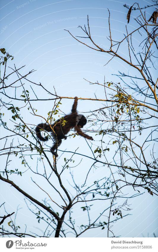 Freeclimber Ferien & Urlaub & Reisen Expedition Natur Wolkenloser Himmel Schönes Wetter Baum Wald Urwald Wildtier 1 Tier Abenteuer Brasilien Hochformat Affen