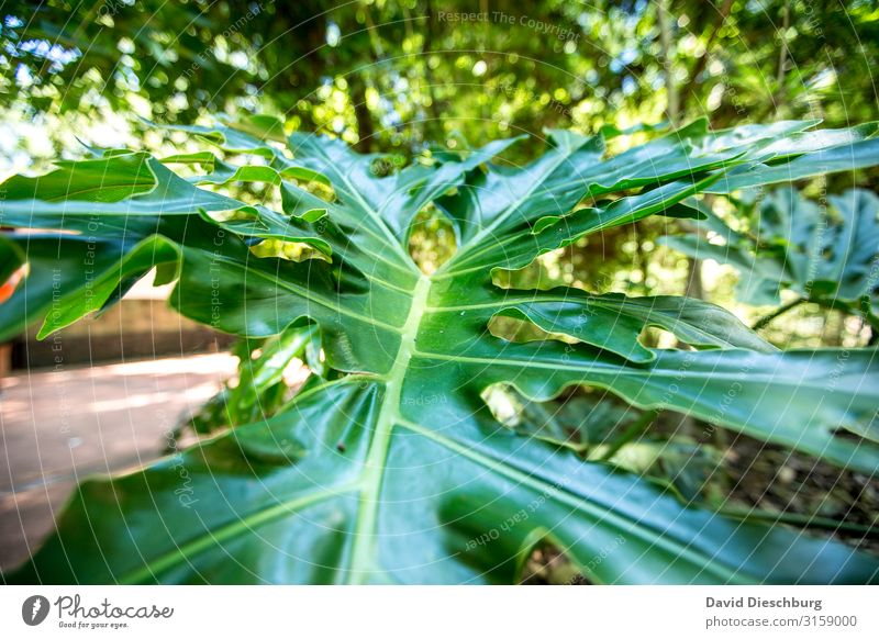 Blattwerk Ferien & Urlaub & Reisen Natur Pflanze Tier Schönes Wetter Grünpflanze Wald Urwald gelb grün Idylle Umwelt Wachstum Philodendron Querformat Brasilien