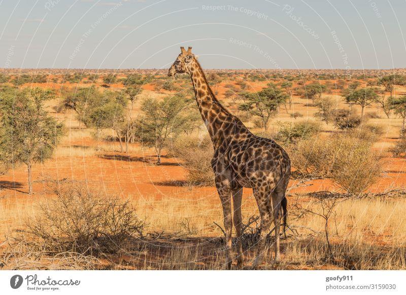 Giraffe mit Aussicht :-) Ferien & Urlaub & Reisen Ausflug Abenteuer Ferne Freiheit Safari Expedition Umwelt Natur Landschaft Erde Sand Himmel Wolkenloser Himmel