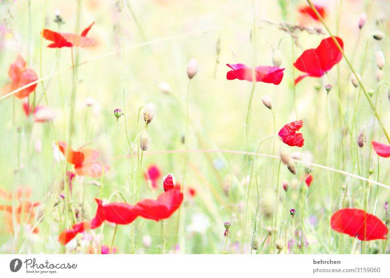 unscharf | every mo(h)nday morning Umwelt Natur Landschaft Sommer Pflanze Blume Gras Blatt Blüte Nutzpflanze Wildpflanze Mohn Garten Park Wiese Feld Blühend