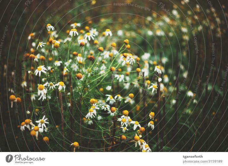 Wildblumen Umwelt Natur Landschaft Pflanze Blume Wildpflanze Duft ästhetisch schön einzigartig nass Glück Zufriedenheit komplex Farbfoto Außenaufnahme Tag