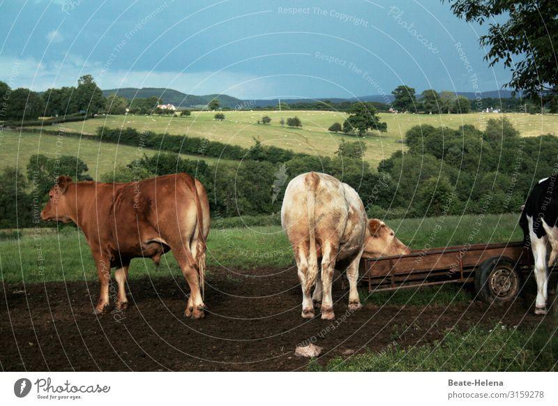 Kühe in  idyllischer Landschaft zeigen Hinterteil Countryside Idylle Po Arsch abgewandt Natur Himmel Sommer Außenaufnahme Weide Wiese Landwirtschaft Nutztier