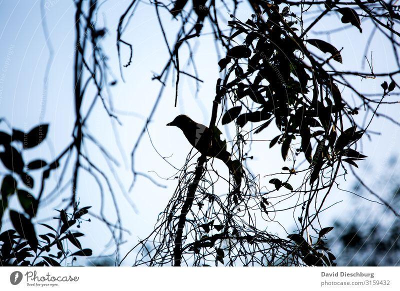 Vogel Ferien & Urlaub & Reisen Natur Landschaft Wolkenloser Himmel Schönes Wetter Pflanze Baum Urwald Tier 1 blau schwarz weiß Brasilien Silhouette Amazonas