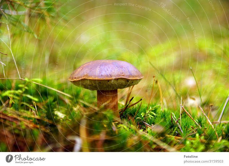 Lecker Pilz Umwelt Natur Landschaft Pflanze Urelemente Herbst Gras Moos Wiese Wald hell nah natürlich Wärme braun grün Pilzhut Maronen Maronenröhrling Waldboden