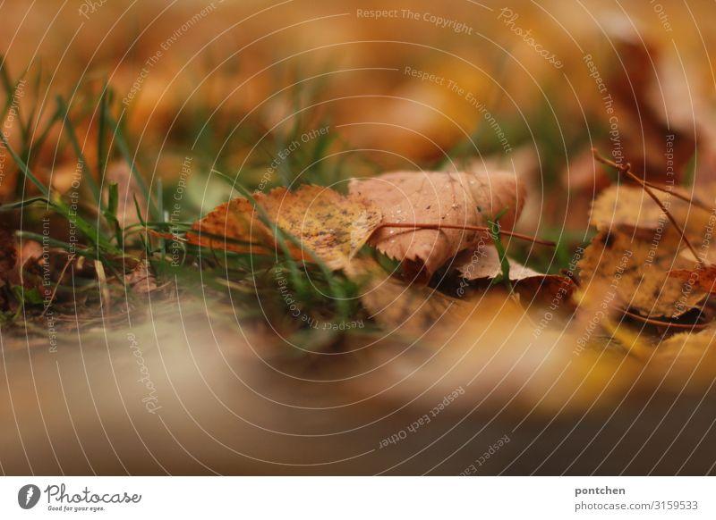 Herbstblätter liegen im Gras Natur Erde Schönes Wetter Blatt Garten Park Wiese braun gelb grün orange Leben Farbfoto Gedeckte Farben Außenaufnahme Nahaufnahme