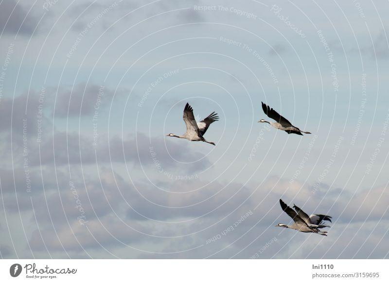 Kranichgruppe im Flug am Himmel mit Wolken Landschaft Herbst Schönes Wetter Feld Wildtier Vogel Flügel Tiergruppe fliegen Zugvogel Süden üben Naturerlebnis