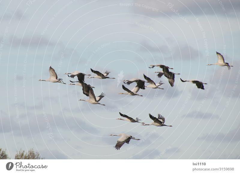 Kranichgruppe im Flug am Himmel mit Wolken Natur Luft Herbst Schönes Wetter Feld Wildtier Vogel Flügel Tiergruppe fliegen blau grau schwarz weiß üben
