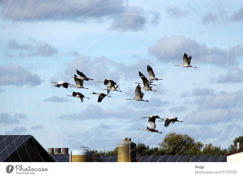 ein Schwarm Kraniche fliegt vor blauem Himmel mit Wolken über ein landwirtschaftliches Gebäude Umwelt Natur Pflanze Tier Herbst Schönes Wetter Baum Dorf Haus