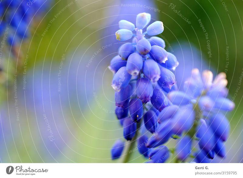 leuchtende Frühlingsblumen Natur blau Farbe schön Blume Leben Garten Traubenhyazinthe