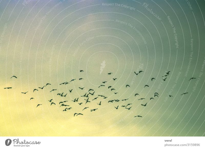 Wenn die Vögel weiter ziehen Freiheit Sommer Luft Himmel Vogel Schwarm beobachten fliegen Ferien & Urlaub & Reisen Zusammensein Unendlichkeit natürlich blau