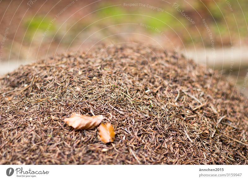 Ameisenhaufen mitten im Wald Tiere Natur Außenaufnahme Blätter Blatt braun Tannennadeln grün
