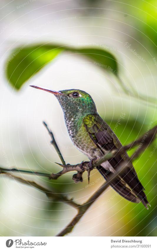Kolibri Ferien & Urlaub & Reisen Abenteuer Expedition Natur Pflanze Tier Schönes Wetter Baum Wald Urwald Wildtier Vogel 1 gelb grün weiß Brasilien Südamerika