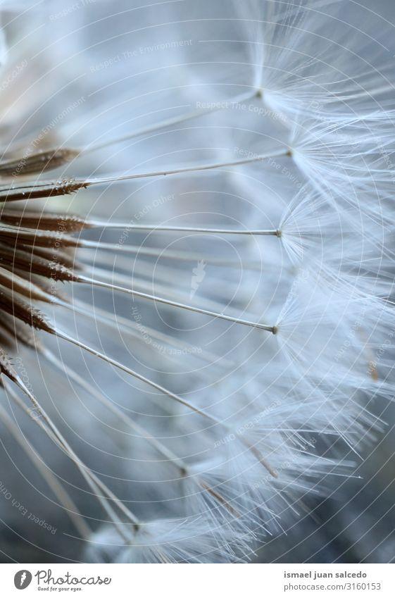 schöne Löwenzahnblume im Herbst Calla Lilien Blume Pflanze Blütenblatt Blatt weiß grün Garten geblümt Natur Dekoration & Verzierung Romantik zerbrechlich frisch