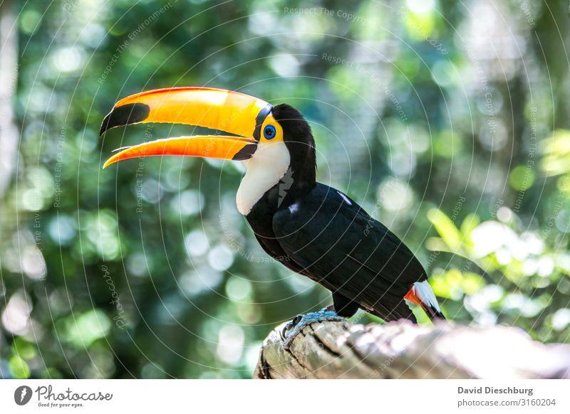 Riesentukan Ferien & Urlaub & Reisen Natur Pflanze grün weiß Baum Tier schwarz gelb Tourismus orange Vogel Wildtier sitzen Abenteuer einzigartig