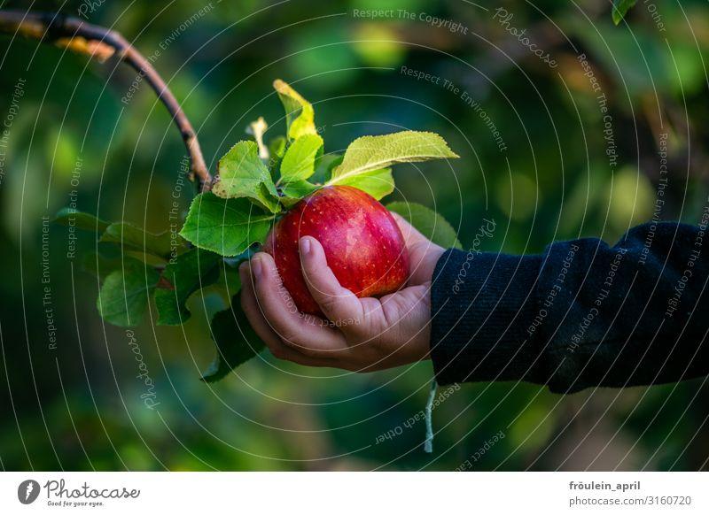 Schneewittchen Lebensmittel Frucht Apfel Garten Kind Hand 1 Mensch 3-8 Jahre Kindheit Natur Pflanze Herbst Baum Blatt berühren entdecken genießen Gesundheit
