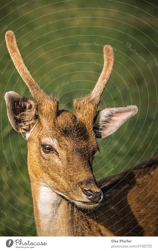 Rotwild Tier Wildtier Hirsche 1 elegant frei Gefühle schön Gelassenheit Abenteuer Freiheit Frieden Natur Farbfoto Außenaufnahme Menschenleer Tag