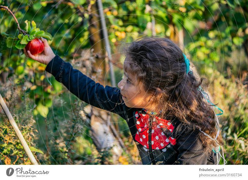 Apfelernte Lebensmittel Frucht Ernährung Vegetarische Ernährung Häusliches Leben Garten feminin Kind Mädchen 1 Mensch 3-8 Jahre Kindheit Natur Pflanze Baum