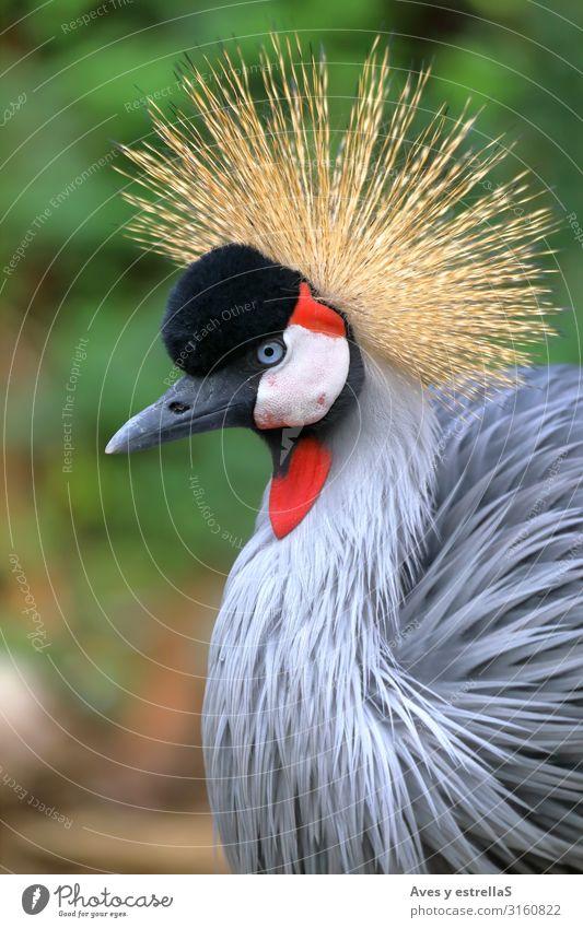 Porträt eines grau balligen Kranichs mit Blick nach links Vogel Krähe Tier Hühnervögel Natur Krone Schnabel Kopf Feder Kamm schön Balearen rot wild schwarz Zoo