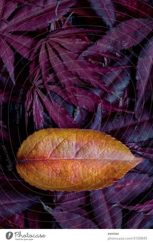 Zierapfelblatt auf roten Ahornblättern Natur Herbst Blatt Apfelbaumblatt Ahornblatt Garten Park gelb orange Herbstlaub Blattadern Hintergrundbild Xenias