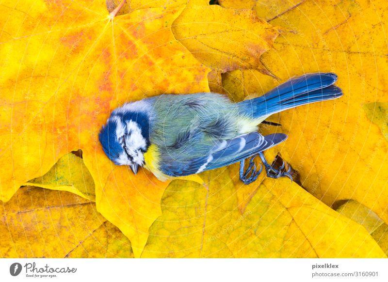 Tote Meise auf Herbstlaub Umwelt Natur Pflanze Tier Blatt Ahorn Ahornblatt Wildtier Totes Tier Vogel Meisen Sperlingsvögel 1 liegen Krankheit trist blau gelb